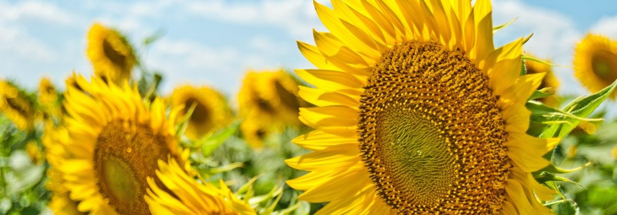 Solrosor på ett fält.