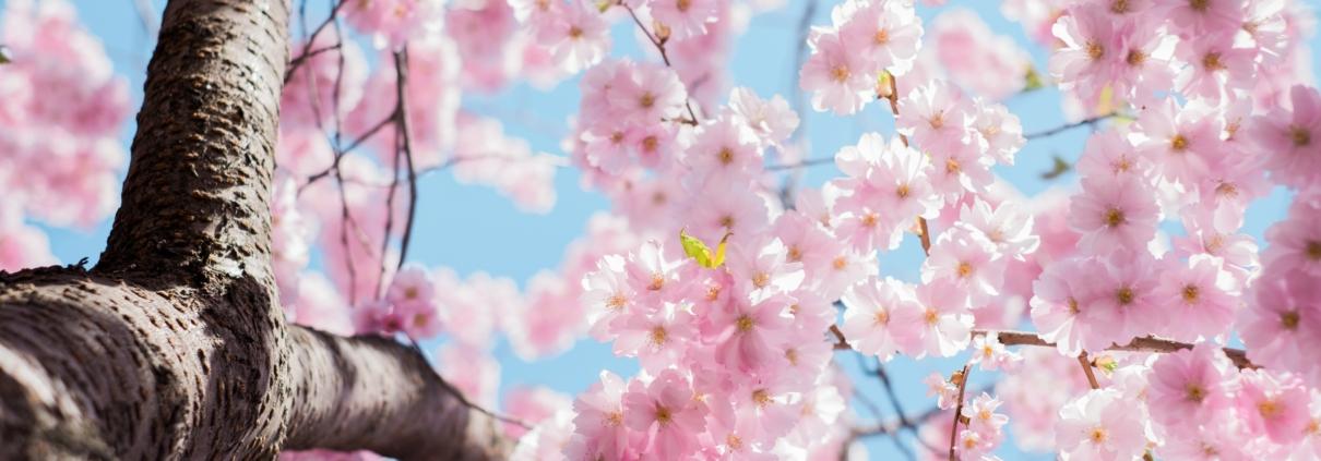 Rosa blommor på träd och blå himmel.