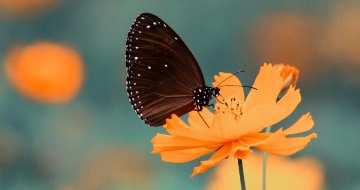 Svart fjäril sitter på orange blomma.