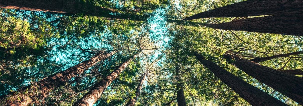 Träd som reser sig mot skyn.