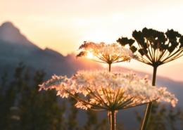Stora blommor med berg och solnedgång i bakgrunden.