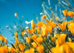 Orange blommor.