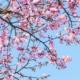 Japanskt körsbärsträd.