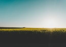 Rapsfält och sol